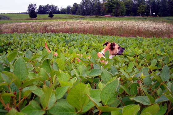 Baxter in our field of soybeans
