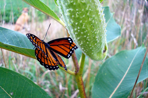 Monarch butterfly and a milkweed pod