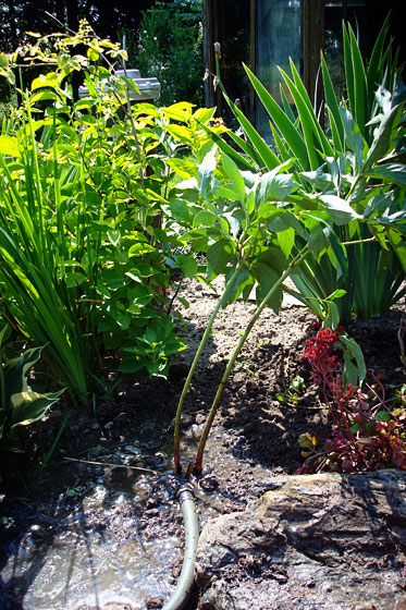 Watering transplanted peony