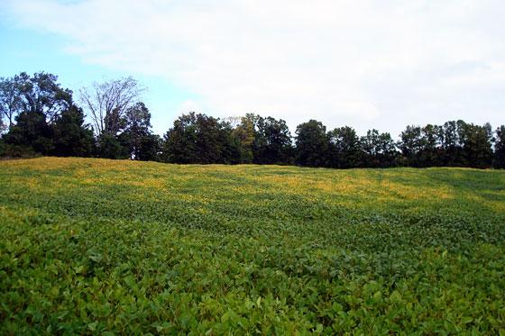 Soyabean field