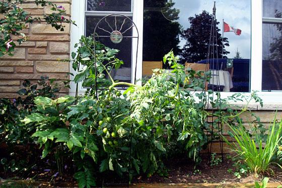 Improvised tomato trellises