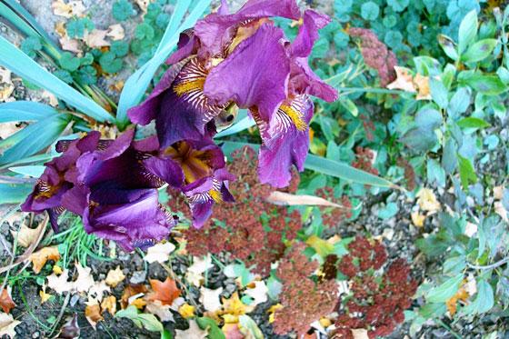 Iris blooming in fall