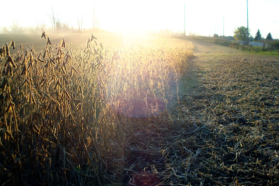 Sunset over the soybean field