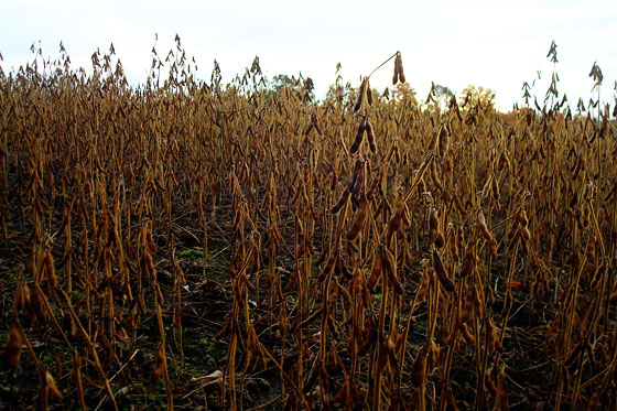 Dry soybeans