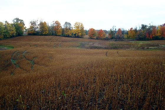 Dry soybean field