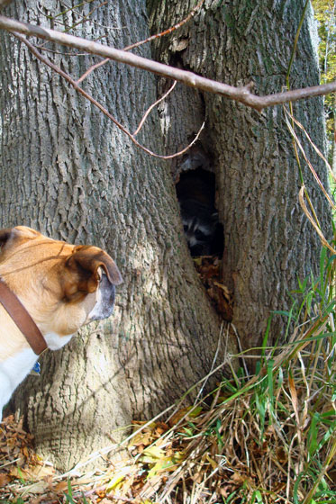 Baxter investigating a racoon in a hollow tree