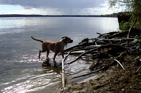 Baxter wading in the water