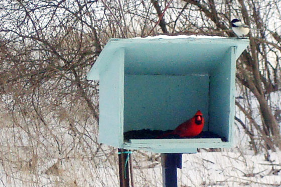 Male cardinal at the bird feeder