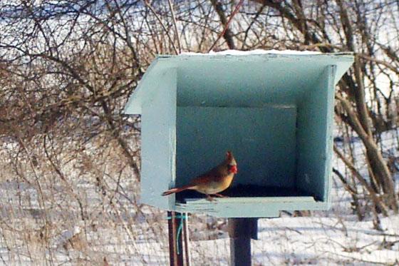 Female cardinal at the bird feeder