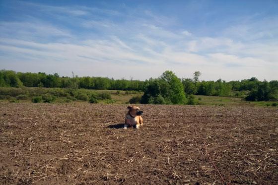 Baxter lying in the field