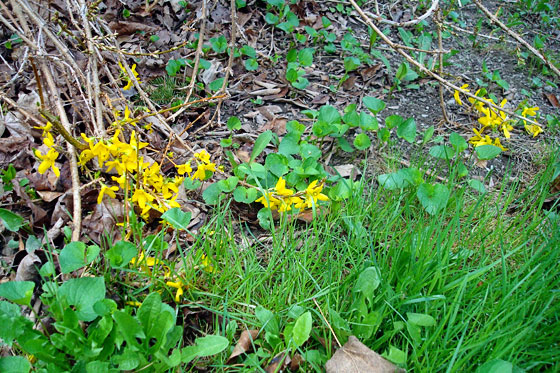 Forsythia blooms for spring 2015