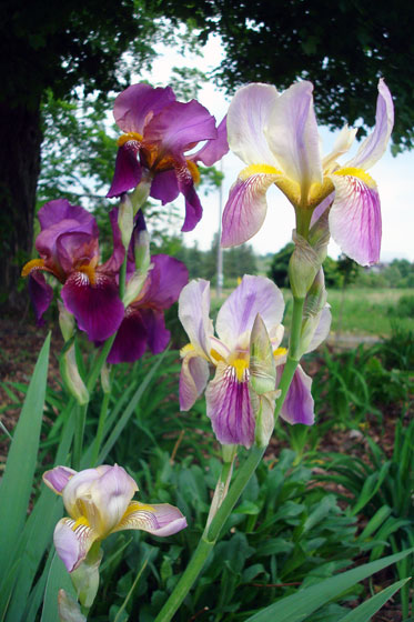 Light purple and dark purple irises