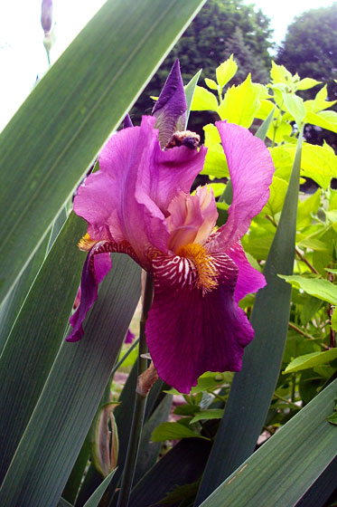 Dark purple iris