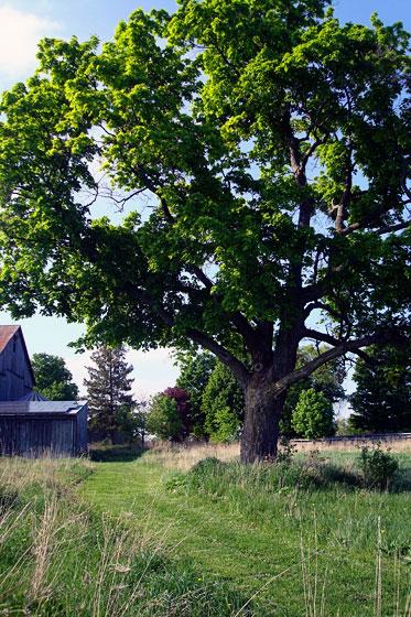 My favourite maple tree