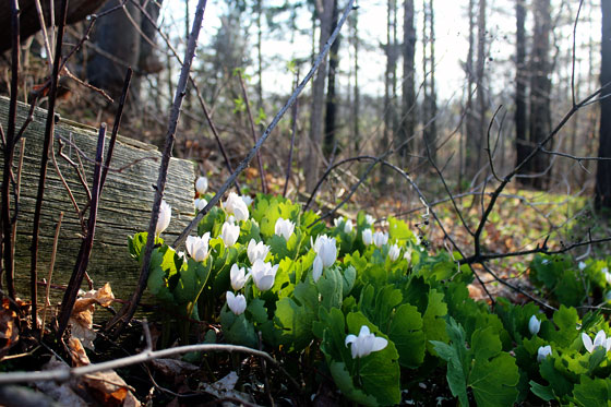 Woodland spring flowers