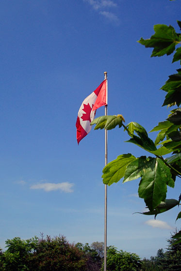 Canadian flag flying in front of a maple tree