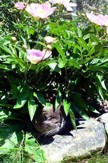 Grey cat and light pink peonies