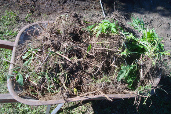 Wheelbarrow full of weed roots