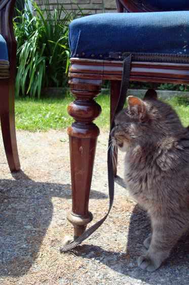 Ralph the cat inspecting the dining chairs