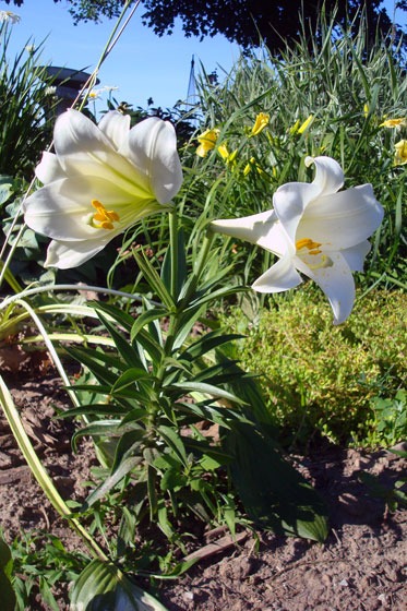 Easter lilies in the garden