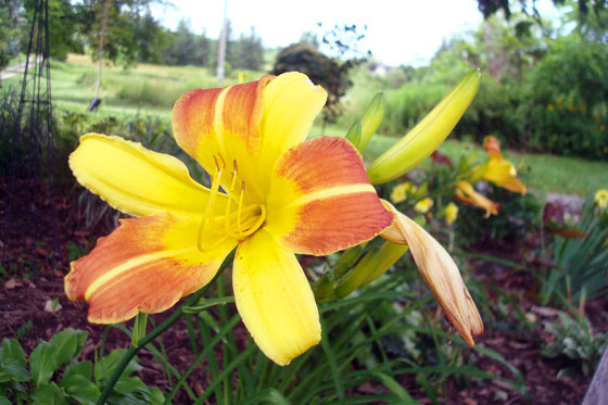 Orange and yellow day lilies
