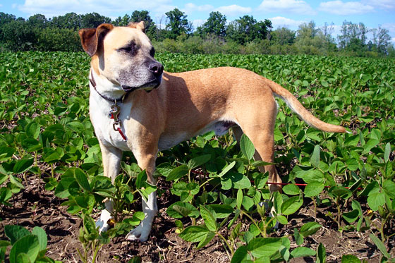 Baxter standing in the soybean fields