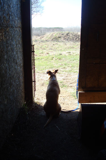 Baxter sitting at the barn door looking over the farm