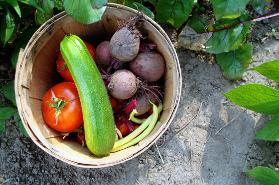 Basket of tomatoes, beets, zucchini and beans harvested from the garden
