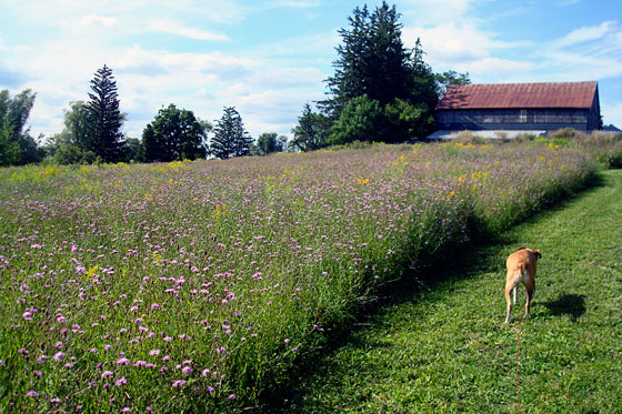Wildflowers in the meadow behind the barn
