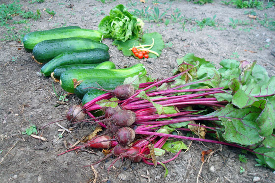 Vegetable garden harvest
