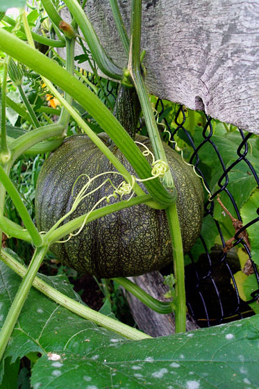 Pumpkin growing hanging on a fence