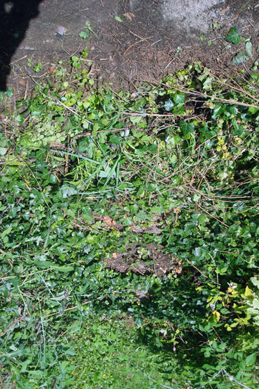 Stairs covered with ivy