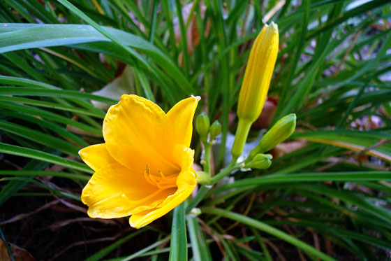 Yellow lily blooming in September