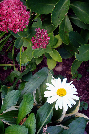 Shasta daisy blooming in September