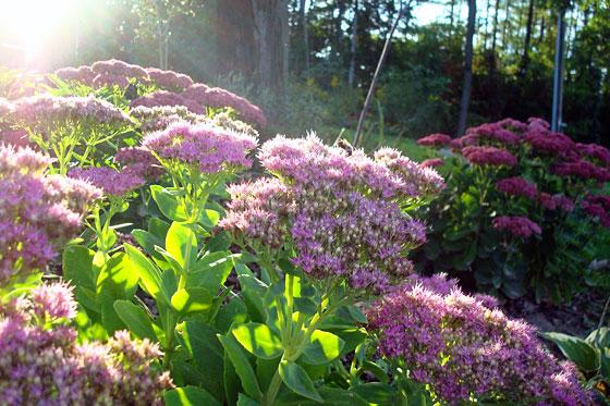 Sedum blooming in September