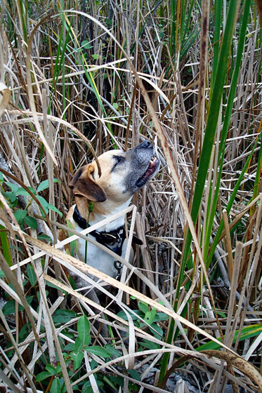 Baxter sniffing in the marsh