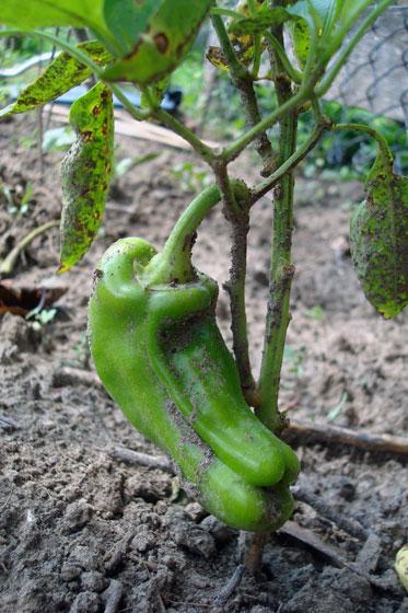 Misshapen pepper