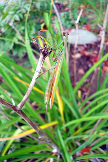 Praying mantis camouflaged against lily leaves