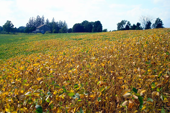 Soybeans turning gold