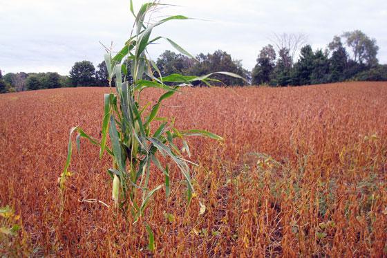 Cornstalk in the soybeans