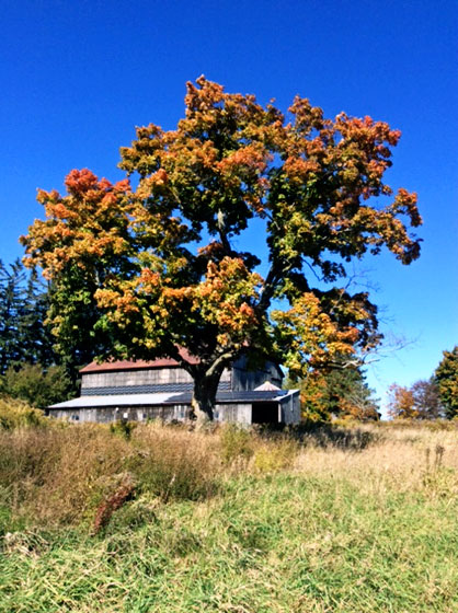 Maple tree behind the barn