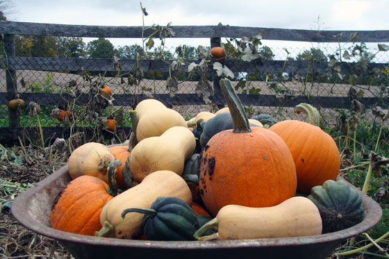 Wheelbarrow full of acorn squash, butternut squash and pumpkins