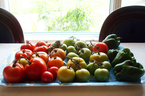 Tomatoes ripening in front of the window