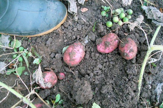 Harvesting red potatoes