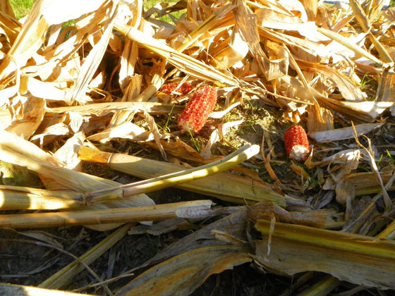 Corn cobs in the field