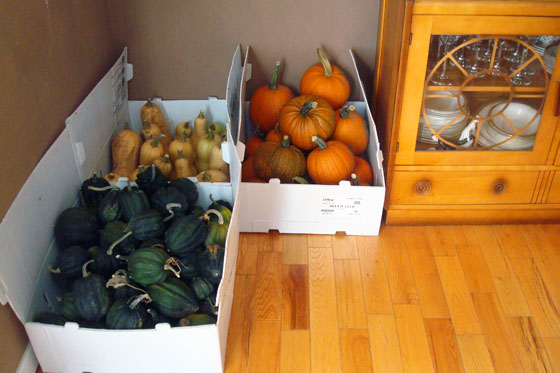 Squash curing in the dining room