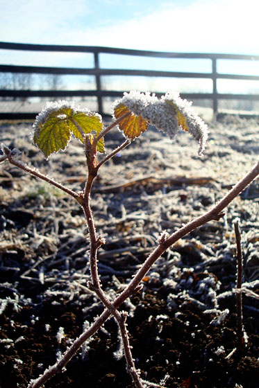 Frost covered raspberry cane