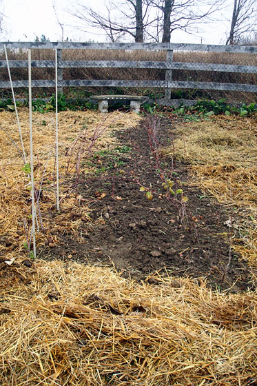 Garden covered with straw