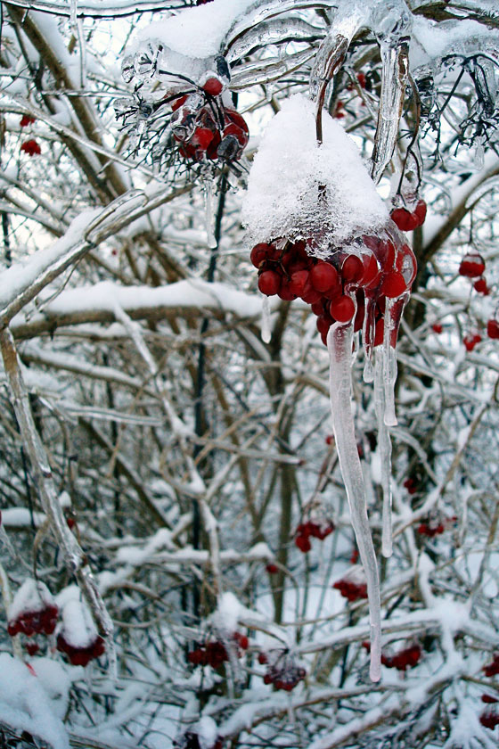 Ice-coated red berries