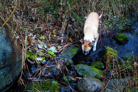 Baxter drinking from the creek